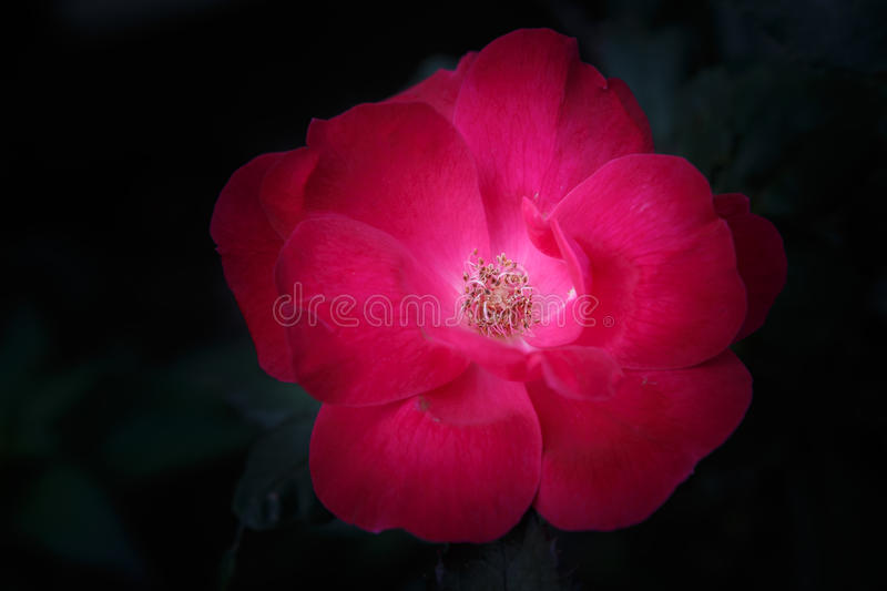 Shrub Rose (Sevillana). Close up of a single flower on the hardy landscape shrub rose plant with long lasting blooms that starts as vivid red and stock photography