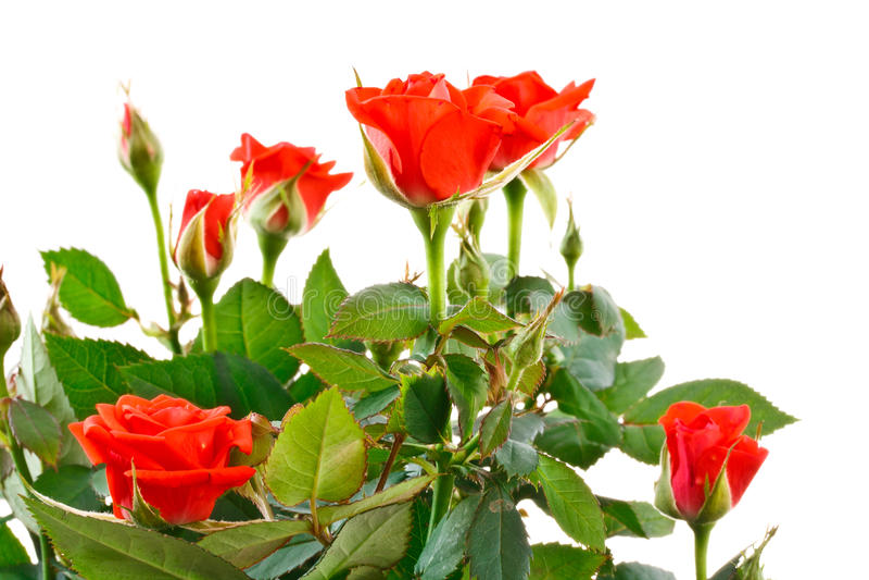 Shrub roses stock photo