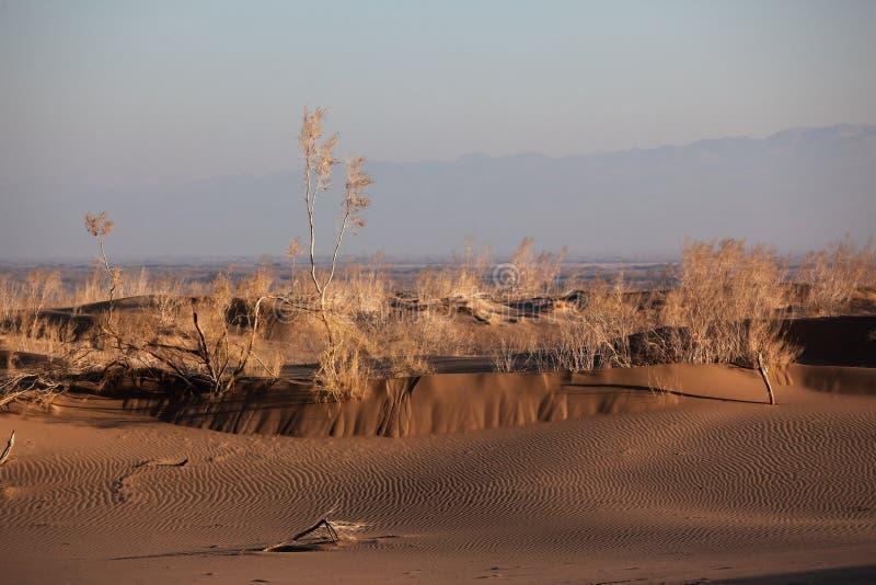 shrub saxaul песка haloxylon пустыни стоковое изображение