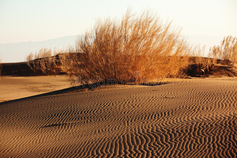 shrub saxaul песка haloxylon пустыни стоковая фотография