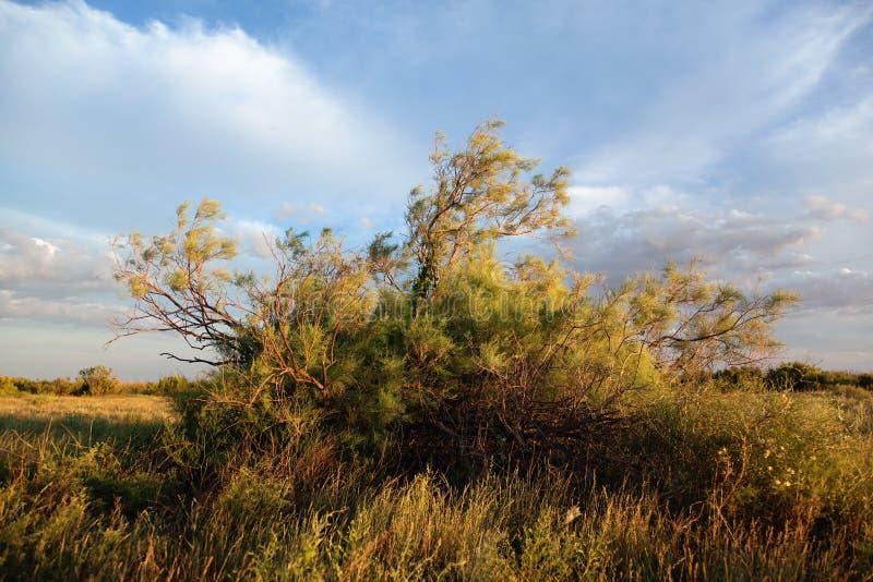 shrub saxaul haloxylon стоковое изображение rf