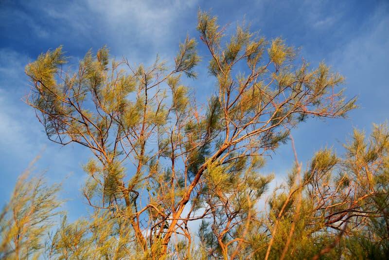 shrub saxaul haloxylon стоковое изображение