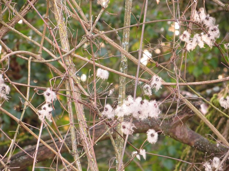 Shrub with white flowers. Shrub with entwined branches and white flowers royalty free stock photo