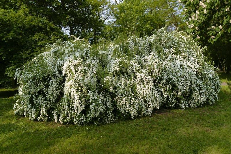 Shrub with white flowers stock photos