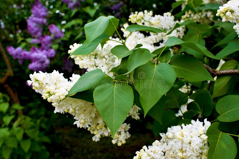 Brushes of white fragrant flowers. royalty free stock image