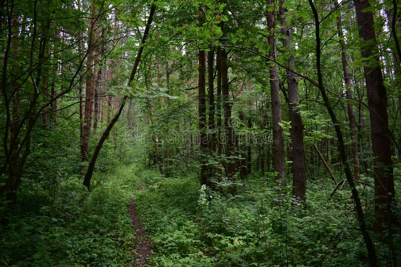 In the shrubbery path runs through the woods the drowsy forest, mysterious, frightens from. A distance royalty free stock photo