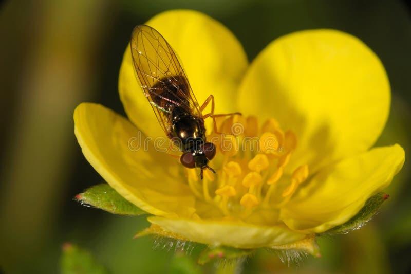 Download Shrubby Cinquefoil stockbild. Bild von insekt, nahaufnahme - 26352583