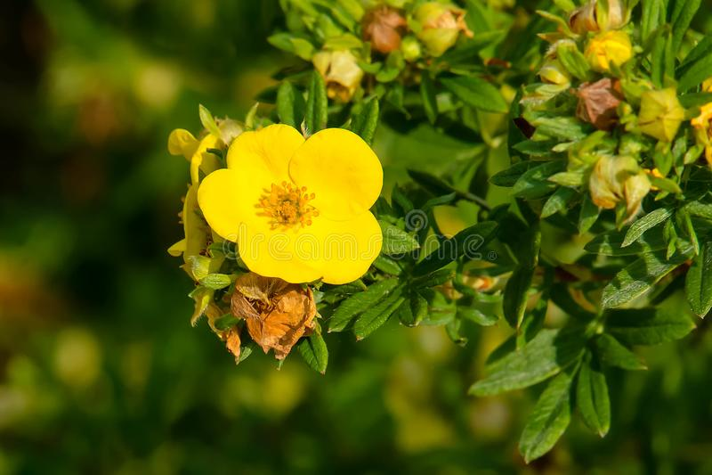 Shrubby Cinquefoil - Dasiphora fruticosa fotografering för bildbyråer