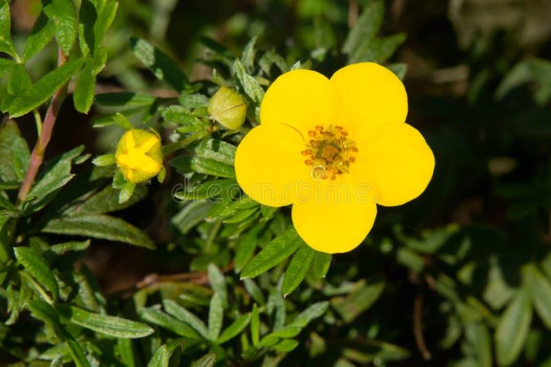 Shrubby Cinquefoil - Dasiphora fruticosa royaltyfri bild