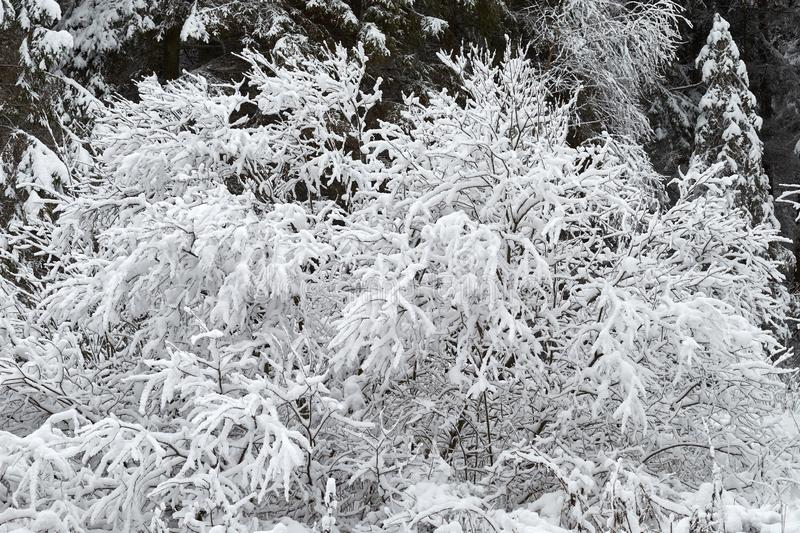 Shrubs are beautifully snow-covered with snow royalty free stock image