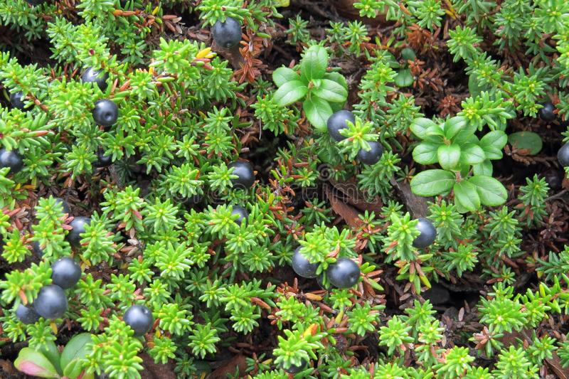 Shrubs with black crowberries Empetrum nigrum; Norway, Europe royalty free stock photography