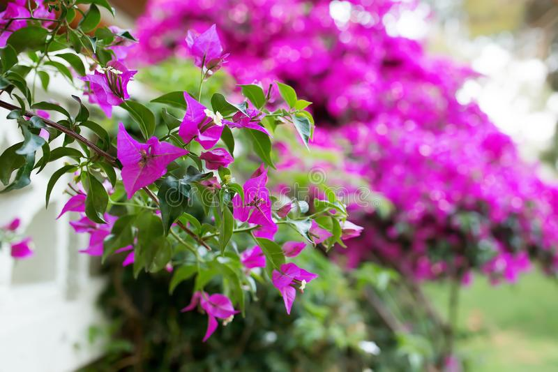 Shrubs of bougainvillea in bloom stock photography