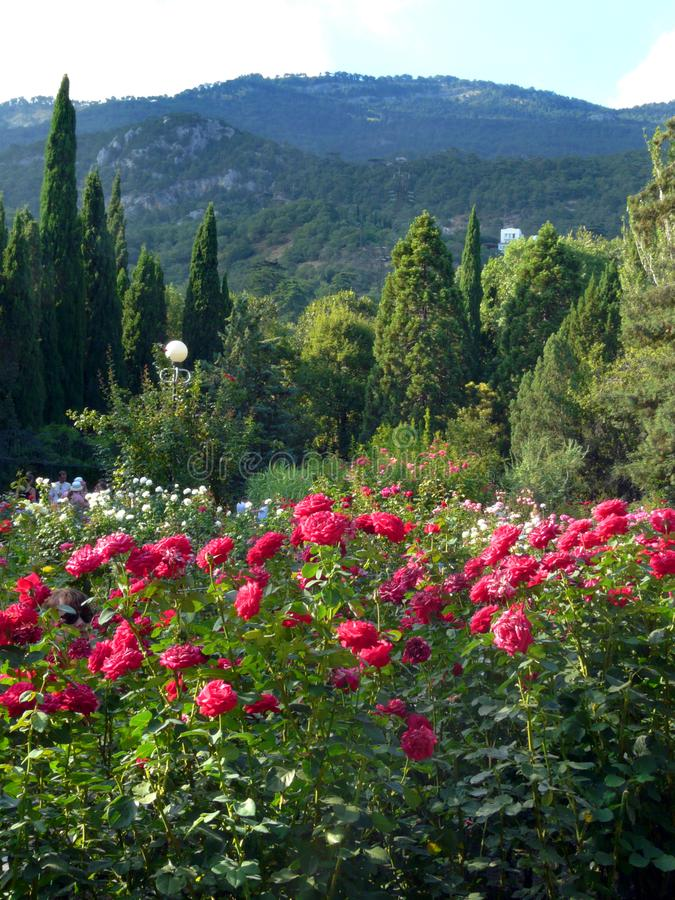 Shrubs of red and pink roses in a botanical garden with coniferous bushes on the background of a high mountain royalty free stock photography