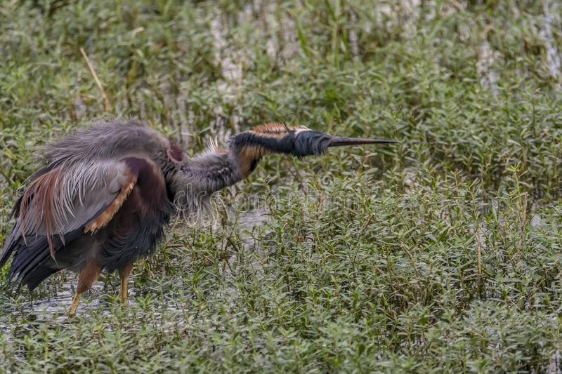 Shrug off: Ardea purpurea or the Purple heron feathers. Behavior of herons to keep their beaks open and break occasionally. Purple herons are colonial breeders royalty free stock photos