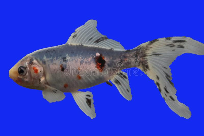 Shubunkin     Carassius auratus. The Shubunkin is a ornamental fish from Japan. The shubunkin is a mix of goldfish, veil tail and koi royalty free stock photography
