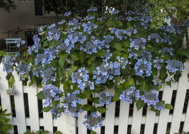 Shurb при голубые группы цветка свисая белый частокол в Сиэтл Вашингтоне стоковые фотографии rf