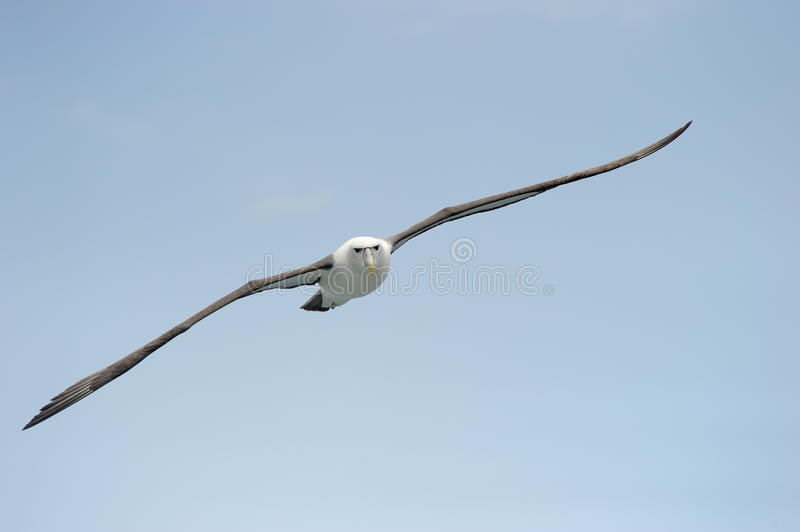Shy Albatross royalty free stock photo