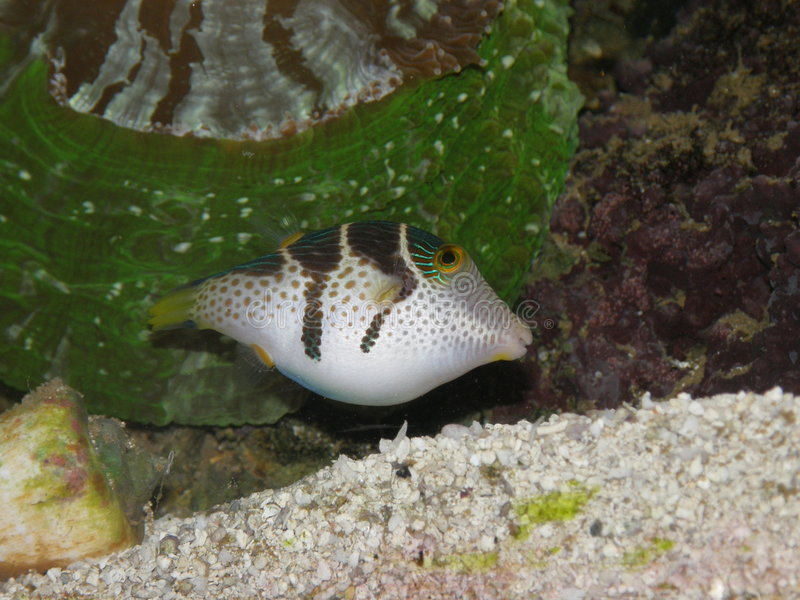 Shy Black-Saddled Toby Puffer Fish stock photography