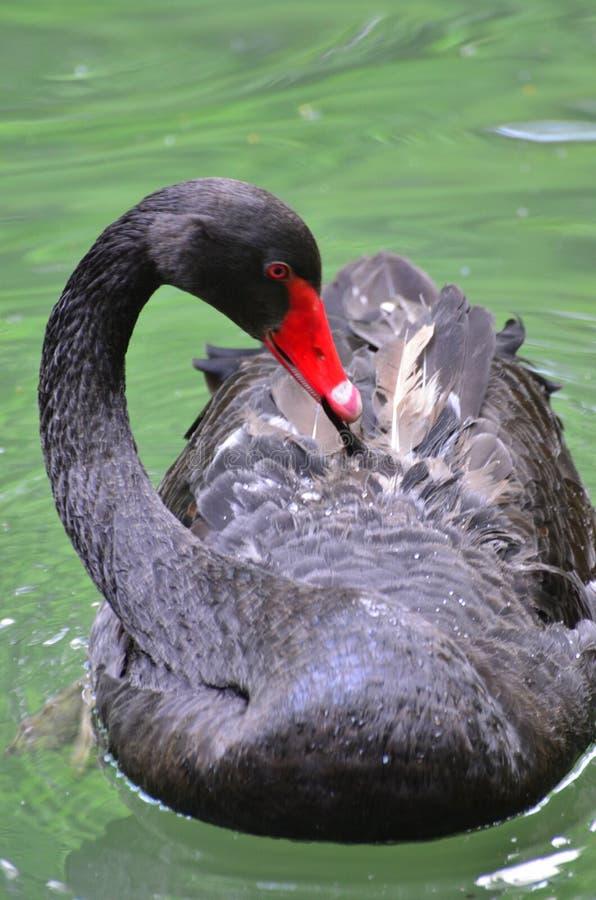 Shy black swan. Beautiful and elegant black swan on the lake stock image