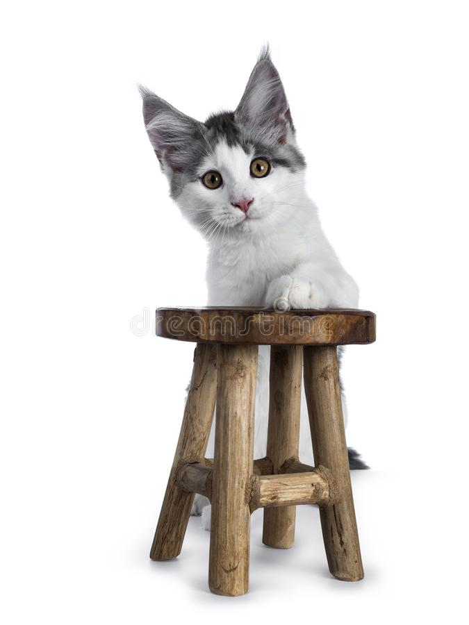 Shy blue tabby high white harlequin maine coon cat kitten standing behind a little wooden stool, looking straight in camera isola royalty free stock photography