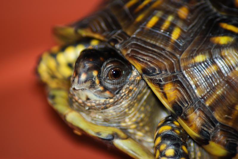 Shy box turtle royalty free stock image