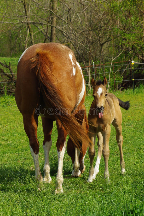 Download A Shy Buckskin Filly Takes A Break From Nursing. Royalty Free Stock Photos - Image: 11472878
