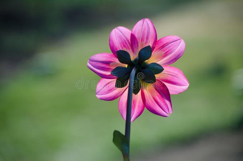 Shy Dahlia. Magenta, iridescent dahlia from the back side stock photography