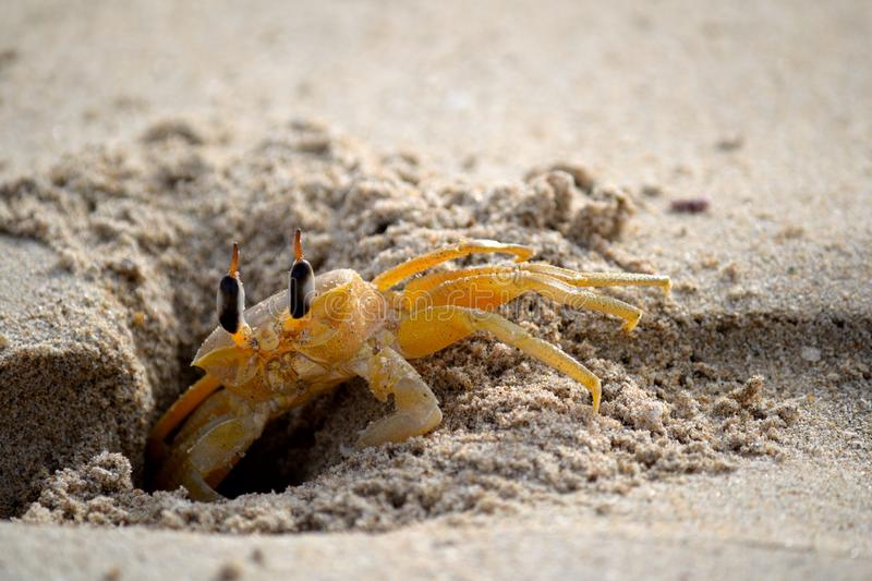 Shy ghost crab royalty free stock photos