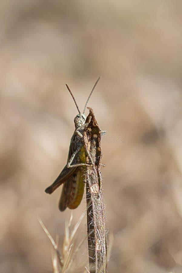 The shy grasshopper royalty free stock photo
