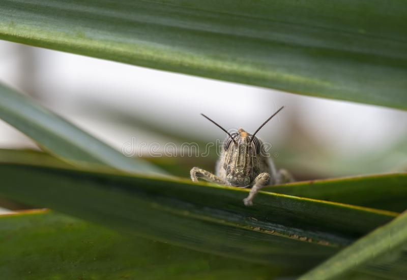 Shy grasshopper peering out from amongst leaves. Face. royalty free stock photo