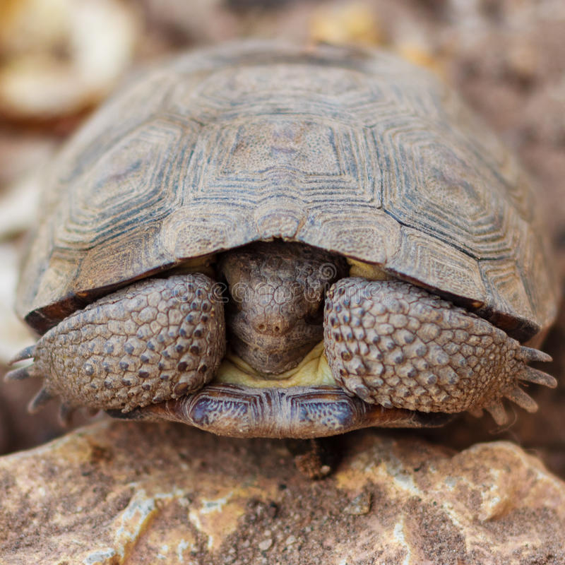 Download Shy land turtle stock photo. Image of dryness, shell - 25059364