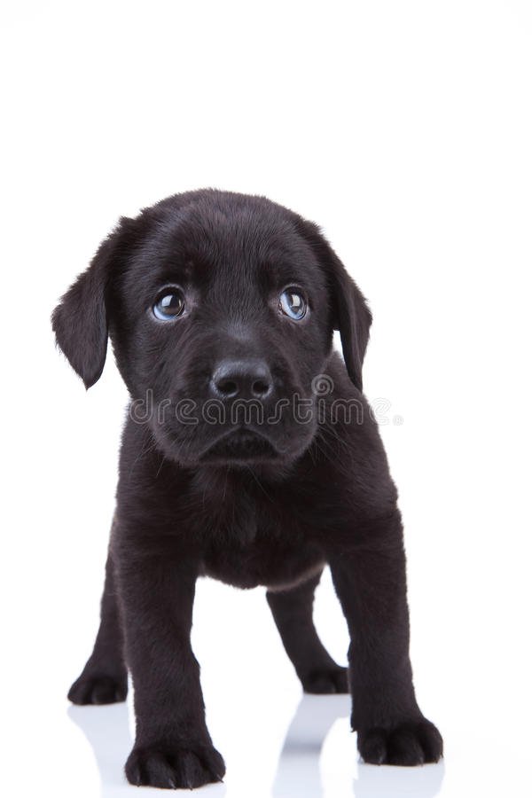 Shy little labrador puppy. Cute little black labrador retriever puppy standing on a white background, looking shy stock photography