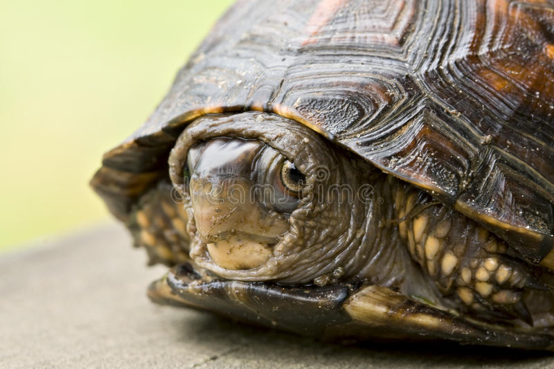 Shy little turtle royalty free stock photography
