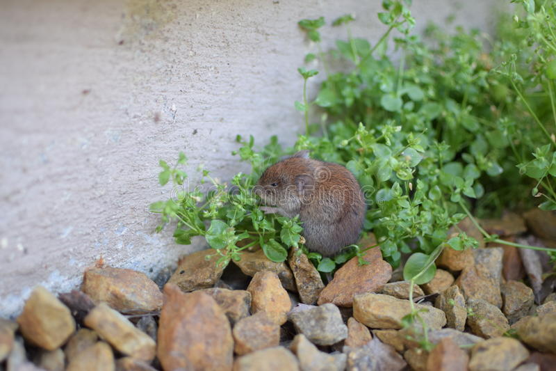 Shy mouse stock image
