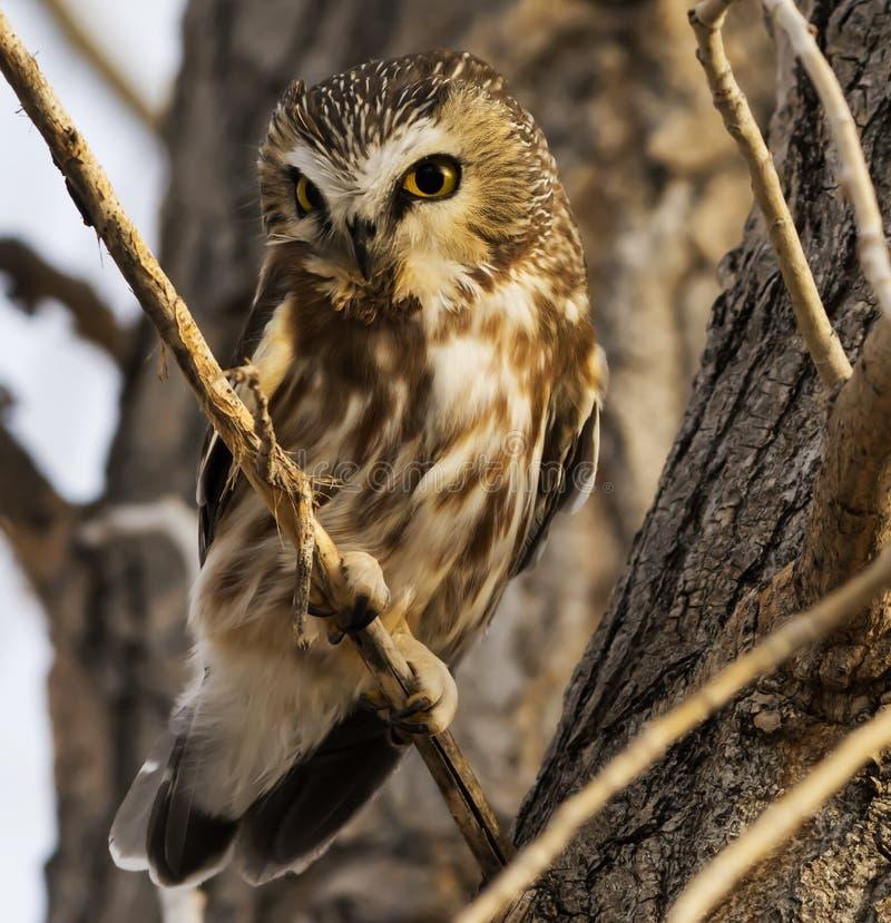 Shy Northern Saw White Owl stockbild