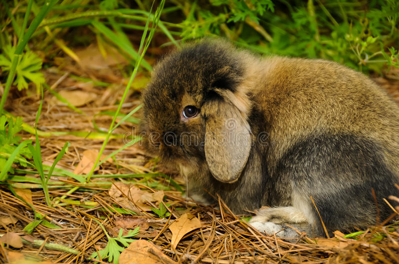 Shy Rabbit royalty free stock images