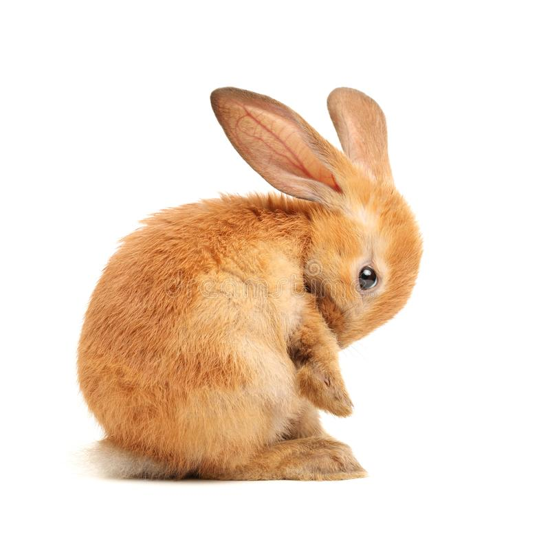 Shy rabbit stock photography