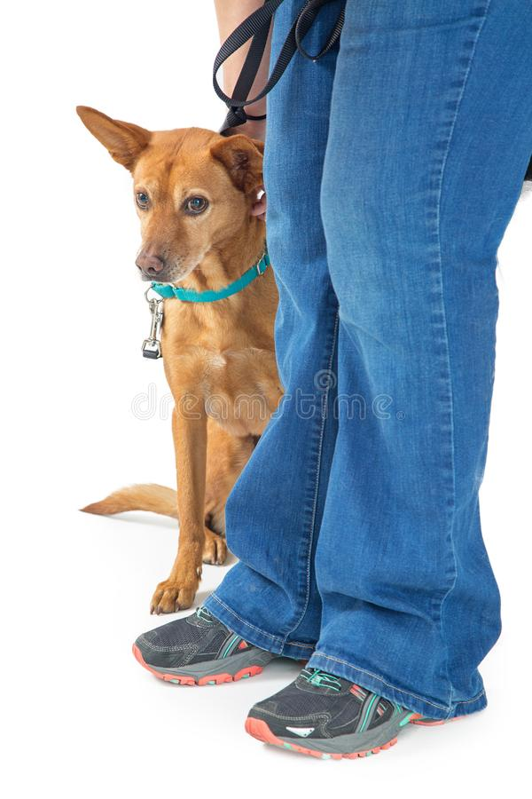 Free Shy Rescue Dog Hiding Behind Person Stock Images - 109496134