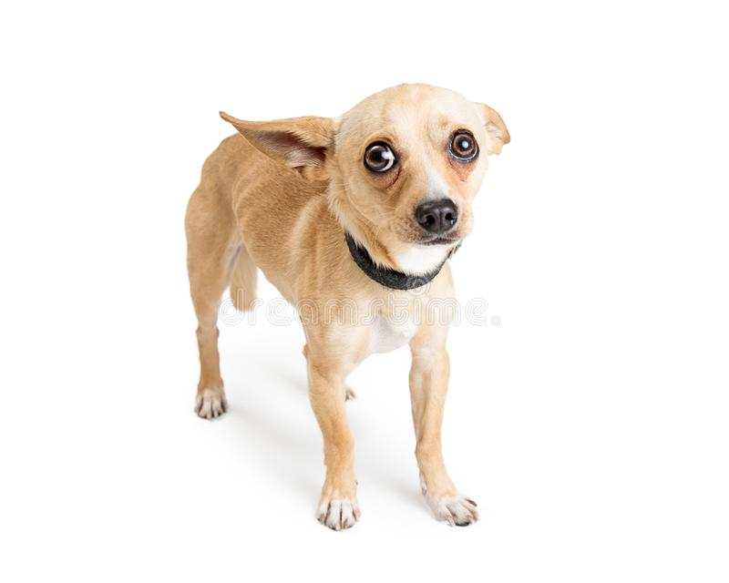 Scared Chihuahua Rescue Dog on White. Shy and scared Chihuahua dog. Image taken at an animal rescue with white studio background stock photography