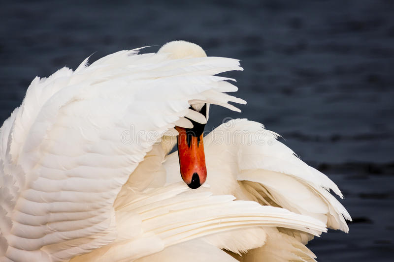 Shy Swan. White Swan Bird Hiding Face. Behind the Wing stock photography