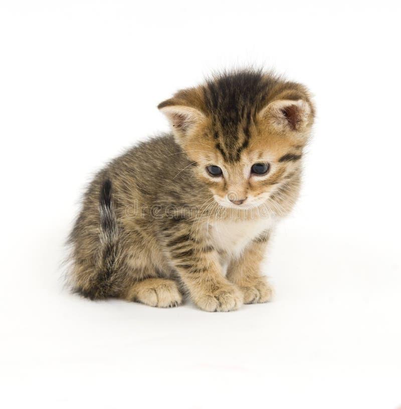 Shy tabby kitten stock images