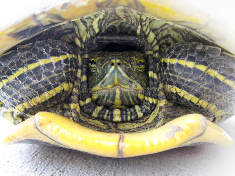 Shy Turtle stock photography