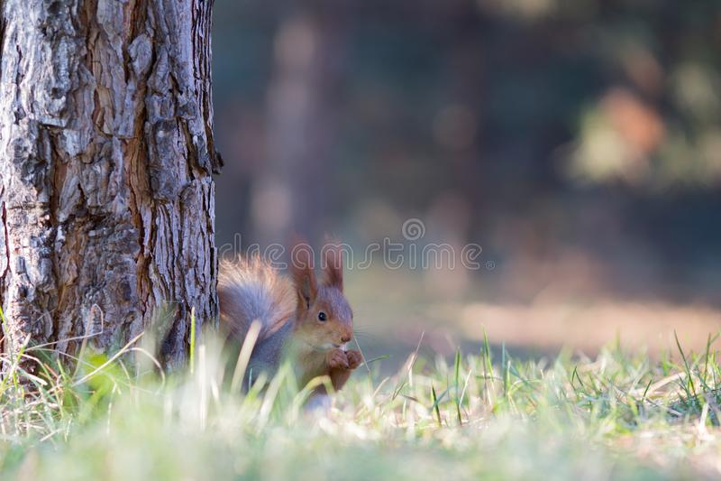 Siège mignon d'écureuil sur l'herbe au parc, forrest au jour ensoleillé photos libres de droits