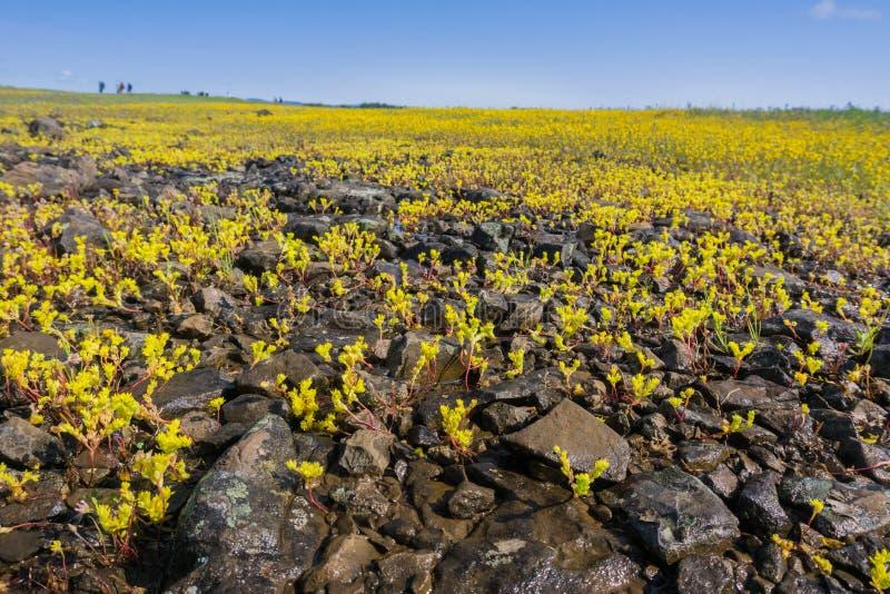 Siërra Onechte Muurpeper die (Sedella pumila) op de basaltrots bloeien van de Berg Ecologische Reserve van de het Noordenlijst, O stock foto's