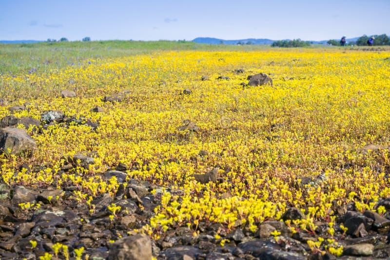 Siërra Onechte Muurpeper die (Sedella pumila) op de basaltrots bloeien van de Berg Ecologische Reserve van de het Noordenlijst, O stock afbeelding