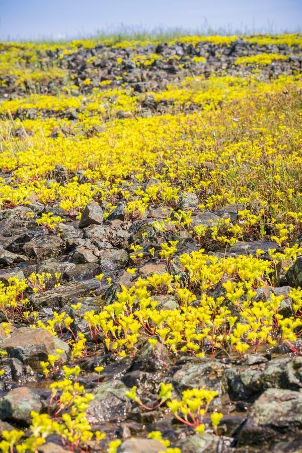 Siërra Onechte Muurpeper die (Sedella pumila) op de basaltrots bloeien van de Berg Ecologische Reserve van de het Noordenlijst, O stock fotografie