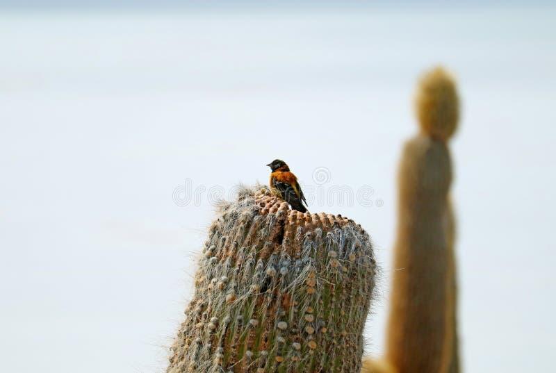 Siërra zwart-met een kap vinkvogel die op een droge cactus, Isla-incahuasi, de Zoute Vlakten van Uyuni, Bolivië neerstrijken stock fotografie
