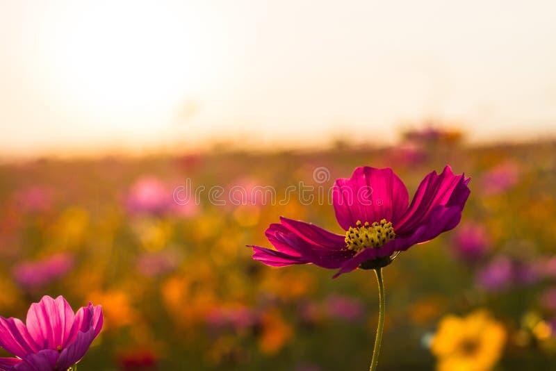 Si champs plantés de bipinnatus de cosmos, causant le point de vue Puisque la fraîcheur d'un grand choix de couleurs photographie stock