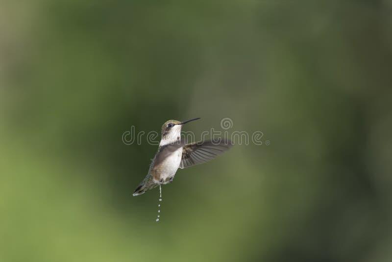 Si les colibris volent vous devez utiliser un chapeau image libre de droits