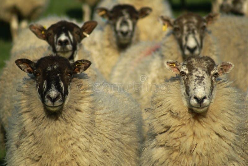 Si les moutons observaient le tennis image libre de droits